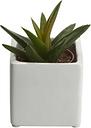 Succulent in 5.5cm Pot