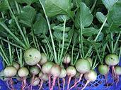 COOL BEANS N SPROUTS - Radish Seeds,White Egg Radish, Radish Seeds,500 Seeds per