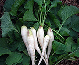 COOL BEANS N SPROUTS - Radish Seeds,White Lady Radish, Radish Seeds, 4 oz Seeds
