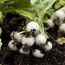 COOL BEANS N SPROUTS - Radish Seeds, White Beauty Radish, Radish Seeds, 4 oz See