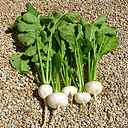 COOL BEANS N SPROUTS - Radish Seeds, White Cherry Radish, Radish Seeds, 100 Seed