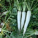 COOL BEANS N SPROUTS - Radish Seeds, Mooli Accord Radish, Radish Seeds, 500 Seed