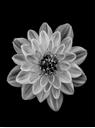Trademark Fine Art Dahlia White by Lotte Gronkjar, 35x47