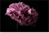 Trademark Fine Art Poppy Pink by Lotte Gronkjar, 12x19-Inch, 12x19