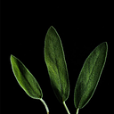 Plantui Sage