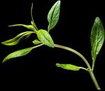 Plantui Savory