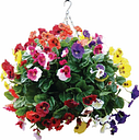 22 Mixed Colours Pansy Ball