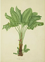 Strelitzia Augusta by Franz Bauer - Art Print on Paper Magnolia Box